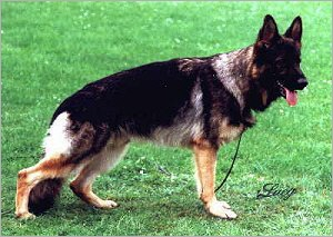 the official listed variations of the sable color can be found on the german pedigree - Sable Color