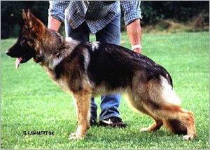 El Perro Ovejero Aleman Gris Grau16_480