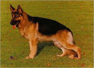 El Perro Ovejero Aleman Gris Grau23_480