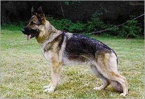 El Perro Ovejero Aleman Gris Grau25_480